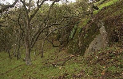 Hrastove šume u Kaliforniji (foto: Paul Marek/wikimedia)