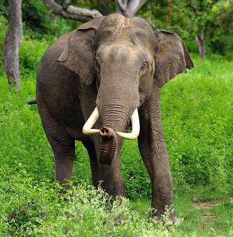 Azijski slon (foto: Wikimedia)