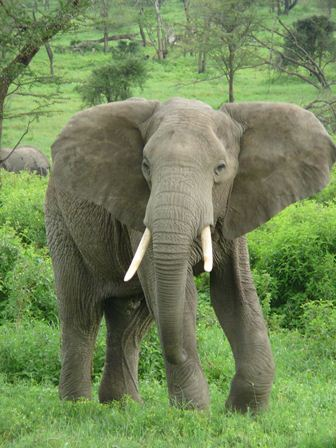 Afrički slon (foto: Wikimedia)