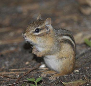 Prugasta vjeverica (Foto: wikimedia.commons.org)