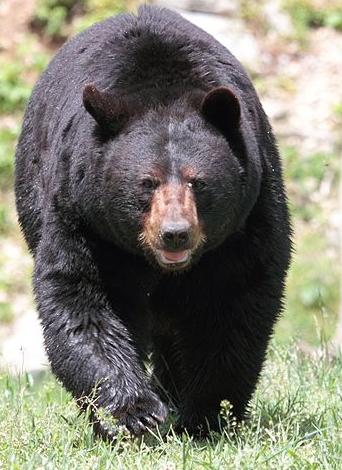 Američki crni medvjed (Foto: commons.wikimedia.org)