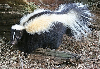 Smrdljivac (Foto: wikimedia.commons.org)