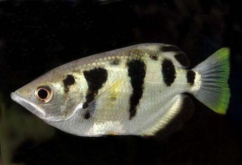 Riba stijelac (Foto: Encylopedia of Life)