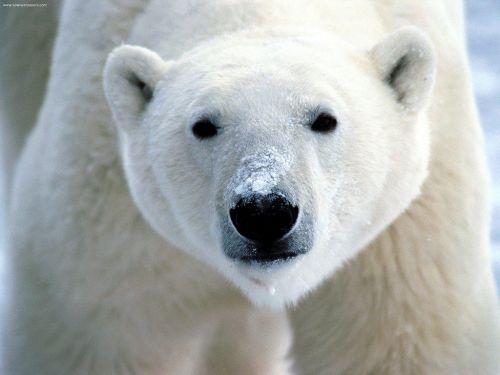 Polarni medvjed (foto: Flickr)