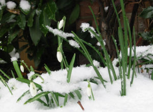 Visibabe pod snijegom (Foto: Wikimedia Commons)