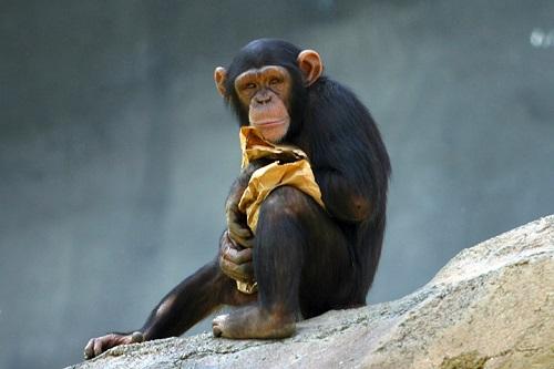 Čimpanza (Izvor: Wikimedia commons)
