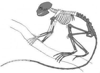 Prikaz kostura pronađenog fosila (Mat Severson, Northern Illinois University)