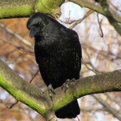 Crna vrana, Corvus corone (foto: Wikimedia Commons)
