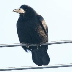Gačac, Corvus frugilegus (foto: Flickr)