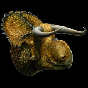 Rekonstrukcija lubanje vrste Nasutoceratops titusi (foto: Lukas Panzarin)