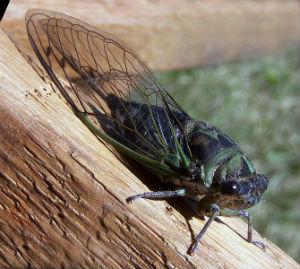 Linnéov cvrčak, Tibicen linnei (foto: Wikimedia Commons)