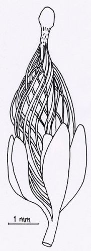 Rani sjemeni zametak (Runcaria), Izvor: Wikimedia commons