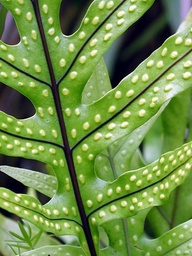 Gametofit i sporofit paprati (foto: Flickr)