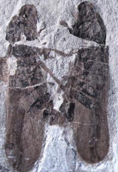 Fosil kukaca tijekom parenja (foto: Li S. i sur.)