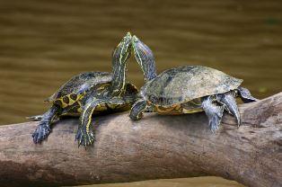 Dvije crvenouhe kornjače (foto: Wikimedia Commons)