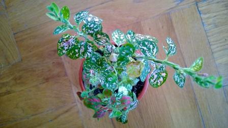 Presađena biljka (foto: Behija Salkić)