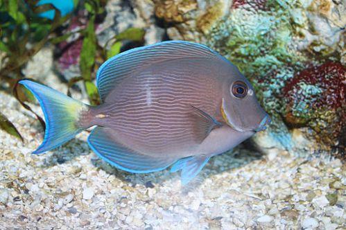 Riba ( Foto: commons.wikimedia)