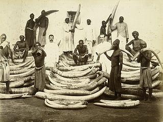 Slonovača ( Foto: commons.wikimedia)