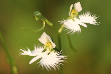 Bijela čaplja, Habenaria radiata (foto: Flickr/koizumi)