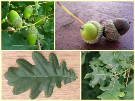 Hrast lužnjak, Quercus robur (foto: Wikimedia Commons)