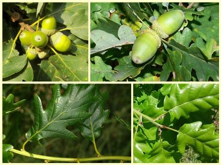Hrast kitnjak, Quercus petraea (foto: Wikimedia Commons)
