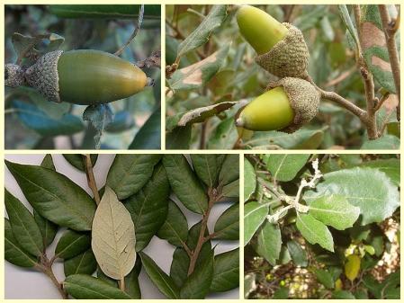 Hrast crnika ili česmina, Quercus ilex (foto: Wikimedia Commons)