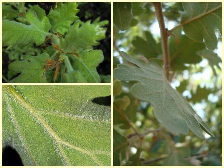 Medunac ili dub, Quecus pubescens (foto: Wikimedia Commons / Flickr)