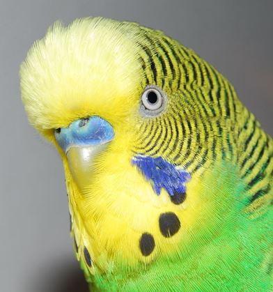 Papiga tigrica (foto: Wikimedia Commons)