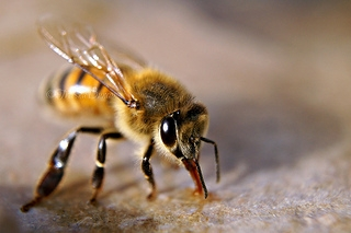 Pčela (Foto: Flickr)