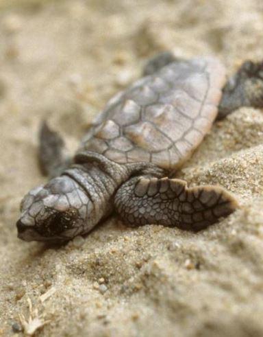 Malena želva (foto: Wikimedia Commons)
