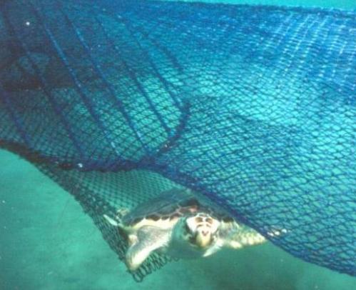 Glavata želva uhvaćena u mrežu (foto: Wikimedia Commons)