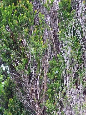 Grmolika biljka Melaleuca howeana (foto: Wikimedia Commons)
