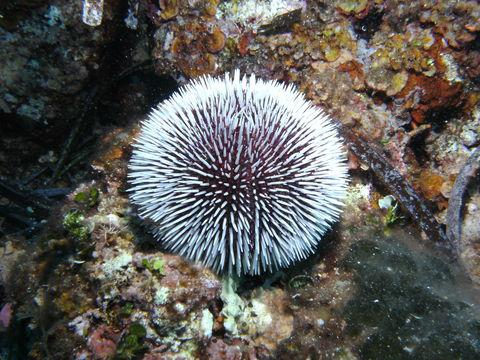 Ljubičasti ježinac (Foto: EOL)