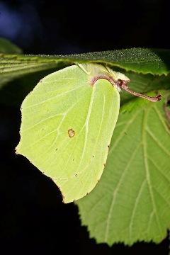 Skriveni leptir (foto: Robin Webster,geograph.org.uk)
