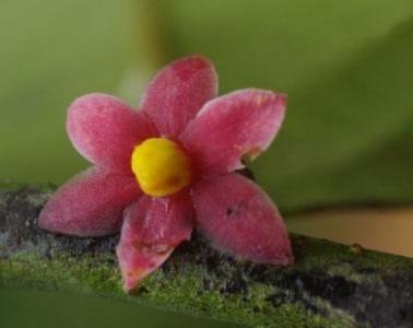 Sirdavidia solannona (en.wikipedia.org, Thomas L.P. Couvreur)