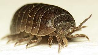 Iuiuniscus iuiuensis (foto: journals.plos.org)