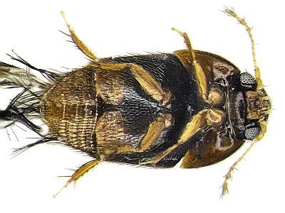 Phytotelmatrichis osopaddington (foto:esf.edu)