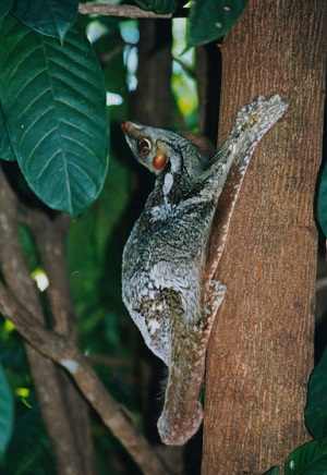 Leteći lemur (commons.wikimedia.org)