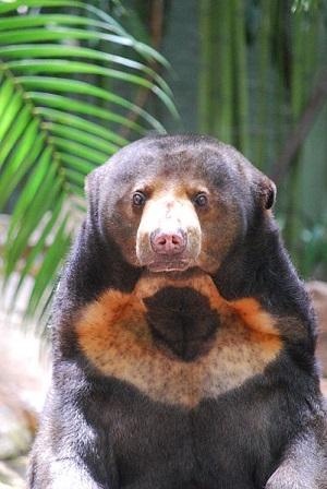 Sunčev medvjed  (commons.wikimedia.org)