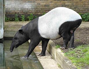 Malajski tapir (commons.wikimedia)