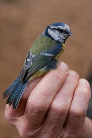 Prstenovanje ptica (flickr.com)