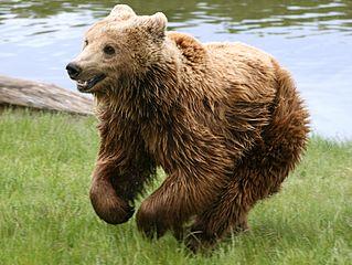 Mrki medvjed (commons.wikimedia.org)