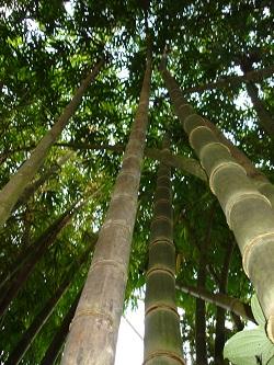Bambus (foto: Marko Doboš)